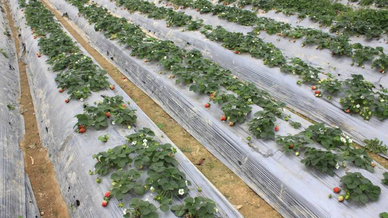 Finding local workers for strawberry farms​