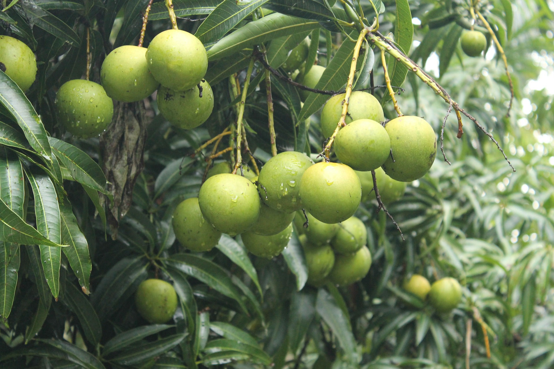 Territorians wanted for Mango Picking